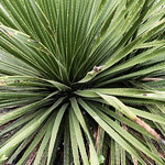 Green sotol thumbnail