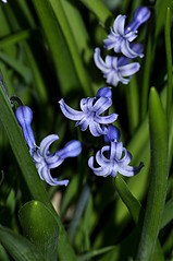 Hyazinthe - Hyacinthus orientalis, NGIDn2068511930 (naturgucker.de) Tags: ngidn2068511930 naturguckerde hyazinthe hyacinthusorientalis 649561984 2128523129 837121265 chorstschlüter