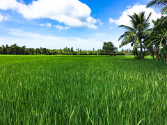 Punta,DipologCity (Pale Rider2010) Tags: dipolog city zamboangadelnorte zamboanga ricefield farm iphone6splus iphone