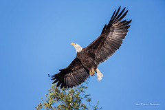 Fly like an ealge (Alex T Sam) Tags: bald eagle wildlife bird birdwatching california