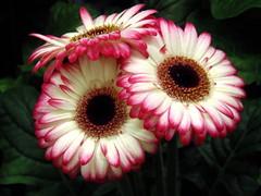 Charming Trio (swetlanahasenjäger) Tags: blume gerbera doublefantasy coth5 sunraysshowcaseaward fantasticnature fleursetpaysages saariysqualitypictures