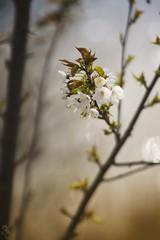 Cherry (frantiekl) Tags: cherry tree blossom cherryblossom spring springtime april season colors dof bokeh mcmakinon reflection light nature macro detail flower white water sky