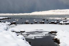 Silence was a way (OR_U) Tags: 2017 oru norway lofoten strønstad winter snow ice sea water rocks swans swanlake publicimageltd seven icefloes worldwildlifeday