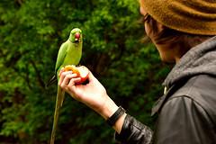 Male parakeet (Geoff Henson) Tags: bird parakeet parrot london apple park kensington tourist feeding nikond5500 sigma