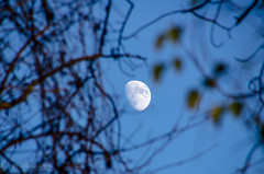 untitled (lvphotos!) Tags: moon trees nature ourdoor framing branch leaves blue sky afternoon light up above