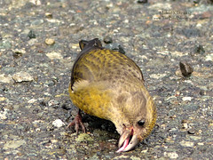 Red Crossbill (Female) - Taylor River, BC (Michael W Klotz - The Bird Blogger.com) Tags: red crossbill loxia curvirostra taylor river sproat lake pacific rim highway vancouver island bc british columbia canada bird finch asphalt nature beak blogger female