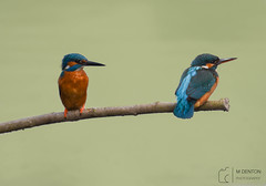 Kingfisher pair (mikedenton19) Tags: kingfisher male female pair relationship alcedo atthis alcedoatthis bird nature wildlife tophill low tophilllow naturereserve yorkshire water yorkshirewater yorkshirenaturetriangle eastyorkshire driffield
