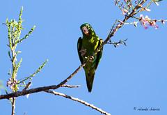 Periquito Alas Amarillas (rolando chdm) Tags: orangechinnedparakeet brotogerisjugularis periquitoalasamarillas chiapas mexico aves birds neotropics inaturalist birdingchiapas elcastaño