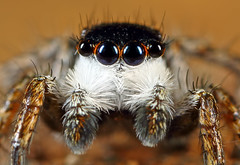 Jumper Portrait... (karthik Nature photography) Tags: macro macrophotography macrolife macroworld macrolifeinindia malejumpingspider salticidae nature naturephotography canon closeup closeupphotography colorfuljumpingspider jumpingspider jumpingspidersofindia jumpingspidersoftheworld jumpingspidercloseup entomology garden gardenphotography insects insectphotography