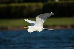 Gliding Into The Weekend (ac4photos.) Tags: egret whiteegret inflight nesting bird nature wildlife animal florida naturephotography wildlifephotography animalphotography bridphotography inflightphotography nikon d500 tamron150600mm ac4photos ac