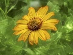 grow your own sunshine (Pejasar) Tags: yellow flower spring 2017 sandsprings oklahoma iphone art creative life