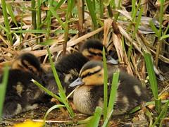 Mallard ducklings (deannewildsmith) Tags: earthnaturelife staffordshire mallard duck duckling wolseleynaturecentre bird
