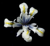 Iris Reticulata 'Eye Catcher' (annabelleny Thank you for your many views and comm) Tags: flower floral spring irisreticulata eyecatcher annjacobson blackbackground irisreticulataeyecatcher ngc npc