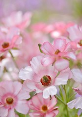 spring dream (snowshoe hare*) Tags: dsc0449 ranunculus lax lycia flowers botanicalgarden ラナンキュラス ラックス ラックスシリーズ リュキア 海の中道海浜公園