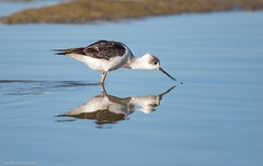 The delicate touch. (Mykel46) Tags: outside outdoor blackwhite stilt wing banded canon nature birds reflection touch goolwasouth southaustralia australia au
