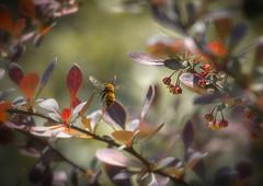 Bzzzzz... Happy weekend! (ursulamller900) Tags: pentacon28100 bee biene berberitze bokeh insekt
