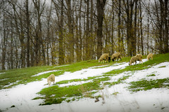 Sheep walk (konstantin.radchenko) Tags: sheep meadow field green nature farm sky background landscape view grass animal scenery farmland agriculture herd grassland grazing hill flock summer tree