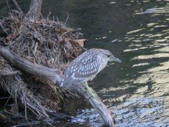 Immature Black-crowned Night Heron (eyriel) Tags: bird waterfowl perch young water creek stream brook nature wildlife