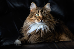 The Queen will see you now. (backbeatb00gie) Tags: elsie nikon cat chair eyes fluffy home house queen soft stare littledoglaughedstories