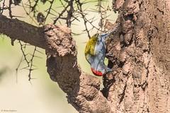 African Grey Woodpecker (Dendropicos goertae), male (Hoppy1951) Tags: ngorongoroconservationarea tanzania tza ngorongorocrater eastafrica allanhopkins hoppy1951 africangreywoodpecker dendropicosgoertae mesopicosgoertae taxonomy:kingdom=animalia animalia taxonomy:phylum=chordata chordata taxonomy:subphylum=vertebrata vertebrata taxonomy:class=aves aves taxonomy:order=piciformes piciformes taxonomy:family=picidae picidae taxonomy:genus=dendropicos dendropicos taxonomy:species=goertae taxonomy:binomial=dendropicosgoertae greywoodpecker graywoodpecker africangraywoodpecker taxonomy:common=greywoodpecker taxonomy:common=africangreywoodpecker taxonomy:common=graywoodpecker taxonomy:common=africangraywoodpecker nikond750