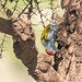 African Grey Woodpecker (Dendropicos goertae), male