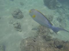 Hanauma-05 (jebigler) Tags: oahu hawaii2017 hanaumabay yellowfinsurgeonfish unitedstates hawaii honolulu 7455kalanianaolehighway