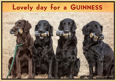 Lovely Day for a Guinness (Blazingstar) Tags: stpatricksday dog dogs guinness hold fetch flatcoated retriever