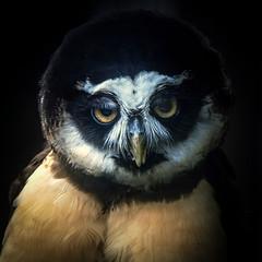 Mildly interested (10000 wishes) Tags: spectacledowl birdofprey raptor portrait naturephotography wildlifephotography bird pose owl