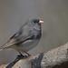 Junco Ardoisé/Dark-eyed Junco (Richard Vézina) Tags: wildlife bird nikond750 nikontc14eiii