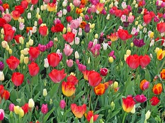 Keukenhof - Tulip Gardens (darrenboyj) Tags: tulip tulips flowerbed color colour keukenhof holland netherlands attraction yearly event pretty lots loads gardens
