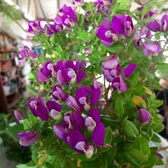 Polygala Myrtlefolia (Assaf Shtilman) Tags: purple flowrrs myrtlefolia polygala plant