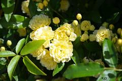 """Il a plus de 50 ans, vit sur le trottoir contre le mur, n'a pas d'épine, n'a jamais pu être """"dupliqué"""",  et resplendit tous les ans même après avoir été totalement incendié par une voiture en stationnement.. Mais il n'a jamais dit son nom. (Brigitte .. . """"Tatie Clic"""") Tags: 201704072 avril printemps fleur fleurjaune lotetgaronne aquitaine francesudouest lcob fb"""