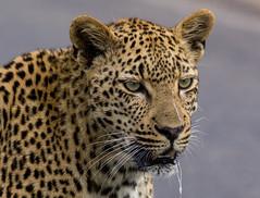 Leopardess in love (jaffles) Tags: southafrica südafrika kruger krügernp np nationalpark wildlife safari leopard pantherapardus predator raubkatze olympus holiday beautiful natur nature