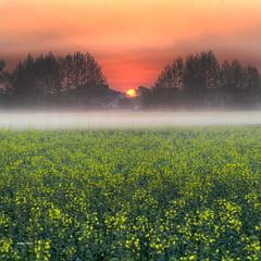 The field theory (Robyn Hooz (away)) Tags: padova colza alba sunrise sorgere nebbia capolavoro campo field orizzonte case cielo sky