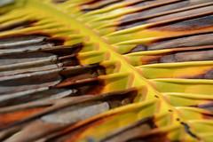 Omadhoo / އޮމަދޫ (Maldives) - Palm Leaf (Danielzolli) Tags: omadhoo maldives malediven dhivehi maldive maldivas maldivi мальдивы އޮމަދޫ alifdhaal alifudhaalu alifu dhaalu atol atoll insel wyspa ostrov ostrvo otok island eiland île isla остров beach strand playa plage plaż piaggia plaża palme palmera palm пляж