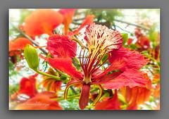 FLOR  DE  FLAMBOYAN (manxelalvarez) Tags: flordeflamboyan flamboyan flores flora naturaleza florestropicales floresrojas