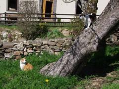 Chat perché (Grand-Pappà...) Tags: agata charlie auvergne hauteloire hautesterres humour printemps lobeç margeride marjarida massifcentral
