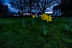 Great Glen - Evening Daffodils (pvizdal_photo) Tags: village greatglen leicester eveninglight street streetphoto
