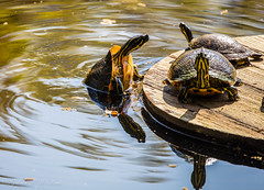 The Pull-Up (Gabriel FW Koch) Tags: wildlife neck natural telephoto sunlight eos pond water sun bokeh amphibious wild nature reflection outdoor reptiles turtle outside dof