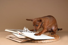 Dwarf-pinscher-093 (mouse_adikatz) Tags: background pinscher brown beautiful miniature cute studio animal small indoors lovely funny domestic adorable pet dog breed purebred pedigree puppy young basket dwarf dwarfs pose canine