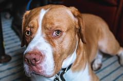 Jax (zerokhmer) Tags: nikon d300 35mm 35mm18 3518 f18 f18g afs dx dog dogs