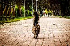 Don Gato (nereaoroquieta) Tags: cat gato katze eyes elegante marrón difuminado cola mirada look paseo árboles trees walk animal pet mascota rayas bigotes