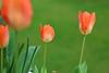 tulips (dr.larsbergmann) Tags: flickr flowers flora flowering languageofflowers florescence flower flowerscolors nature nahaufnahme natur naturemasterclass natureandnothingelse fantasticnature photography photo eos canon 70d 100mm ef100mmf28lmacroisusm macro macrodreams greatphotographers