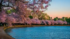 Cherry Sunrise (APGougePhotography) Tags: washington dc nikond800 d800 nikon blossom cherry blossoms sun sunrise color pink tidal basin jefferson memorial districtofcolumbia district columbia spring beauty