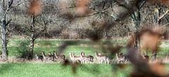 Vårkänslor - möte med hjortar på promenaden (gunillasteen) Tags: fs170416 varkanslor fotosondag