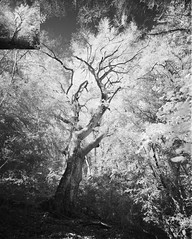 Tolkien beech. Rollei Infrared 400. Mamiya 7 (Escipió) Tags: rolleiinfrared infrared bw ilfosol3 mamiya7 mamiya43mm beech forest tree magictree france pyrenees nature