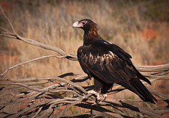 Wedge Tailed Eagle - Aquila audax (Trace Connolly) Tags: australia native bird wedgetaileagle brown red yellow black desert mine eagle birdofprey raptor auto exposure light nature white tree sun park orange canon canon40d canon75300mm