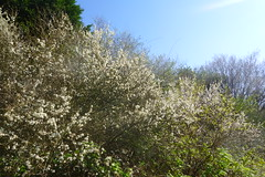 First Blossoms of Spring (Dave Roberts3) Tags: wales newport gwent alltyryn spring springtime sunny flower white blossom tree hedgerow green blackthorn bej blueribbonwinner