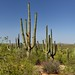 The+Many+Arms+of+Saguaro+Cactus+%28Saguaro+National+Park%29