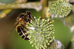 Honey Bee (Roy Lowry) Tags: honeybee leightonmoss apissp